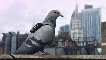 Dùng chim bồ câu đo nồng độ ô nhiễm không khí