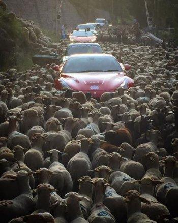 Siêu xe tắc đường vì… cừu