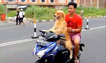 Chó lái xe máy chở chủ dạo phố