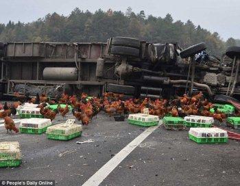Hàng chục cảnh sát đuổi bắt gà trên đường cao tốc